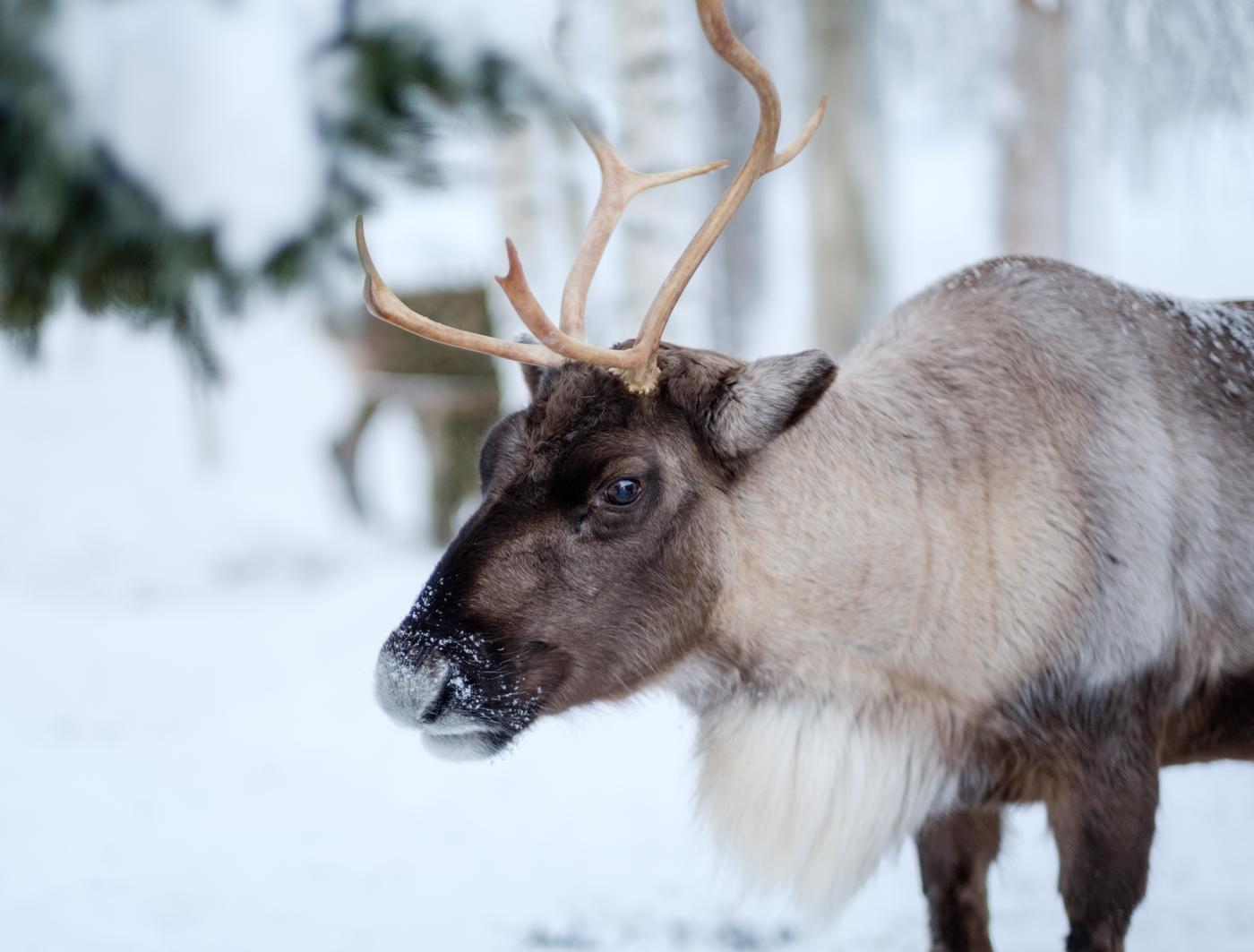 Meet the Reindeer